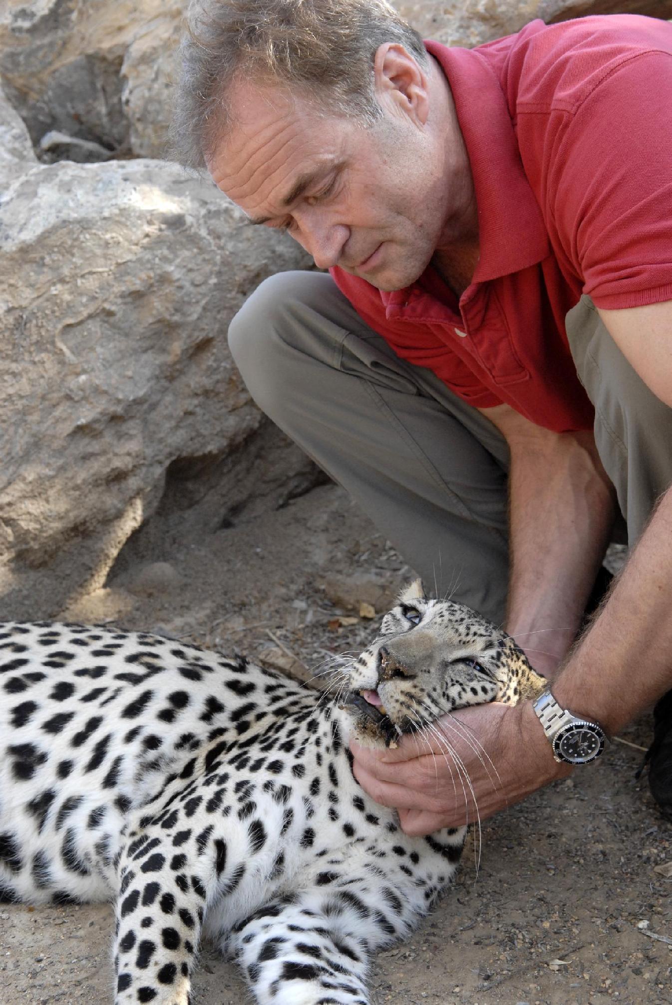 femea leopardo vs macho leopardo nebuloso Rolex-awards-winner-rory-wilson-removes-tracking-collar-from-arabian-leopard